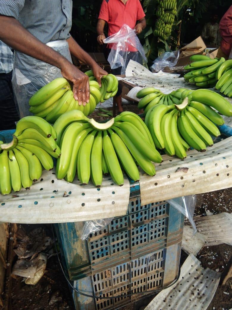 Best Supplier Wholesaler Exporter Trader of Fresh Export Quality Cavendish Banana Pimpalgaon Nashik780 x 1040 jpeg 137kB